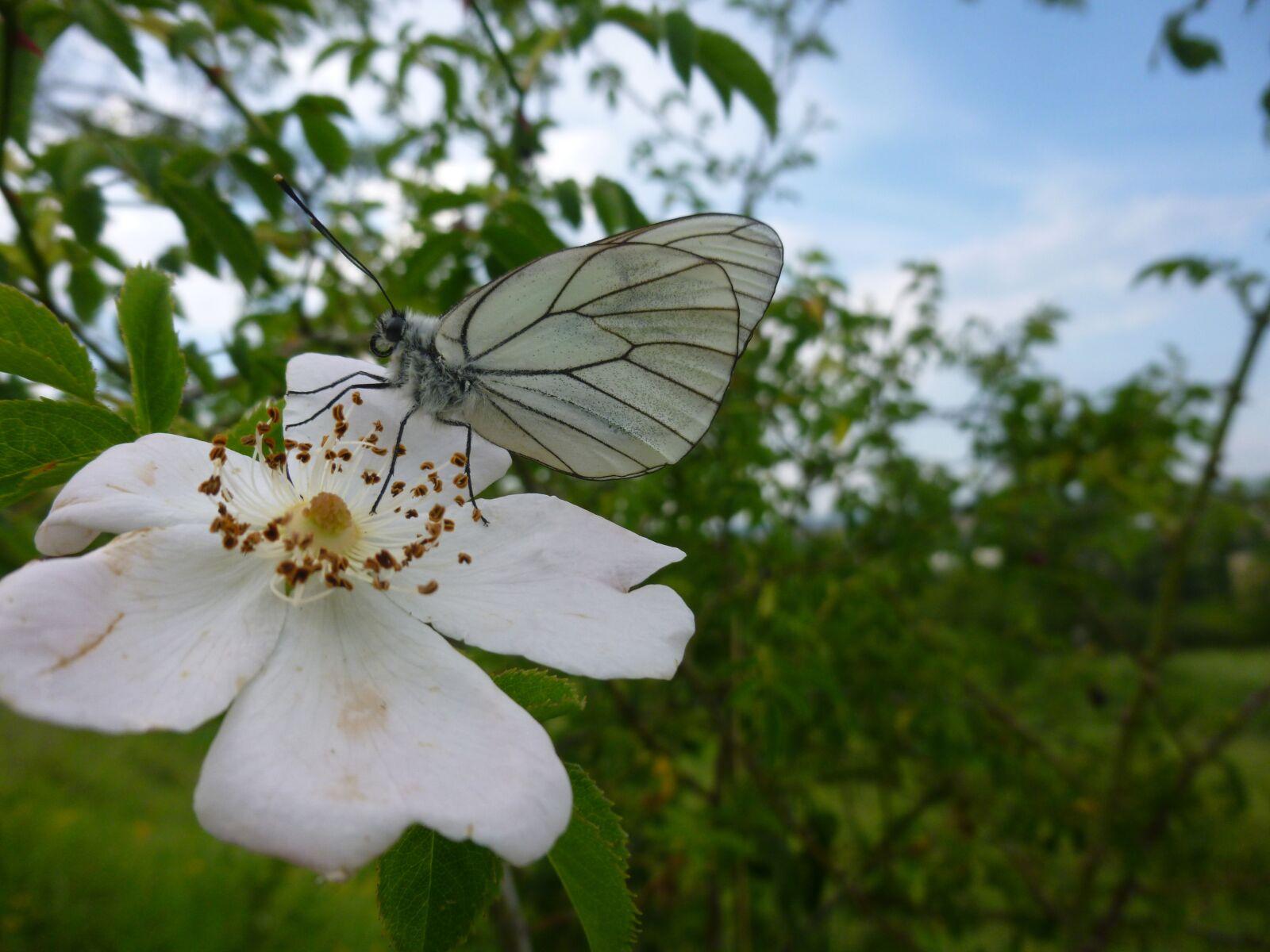 "Panasonic DMC-SZ3 sample photo. ""Gassed, butterfly, aporia crataegi"" photography"