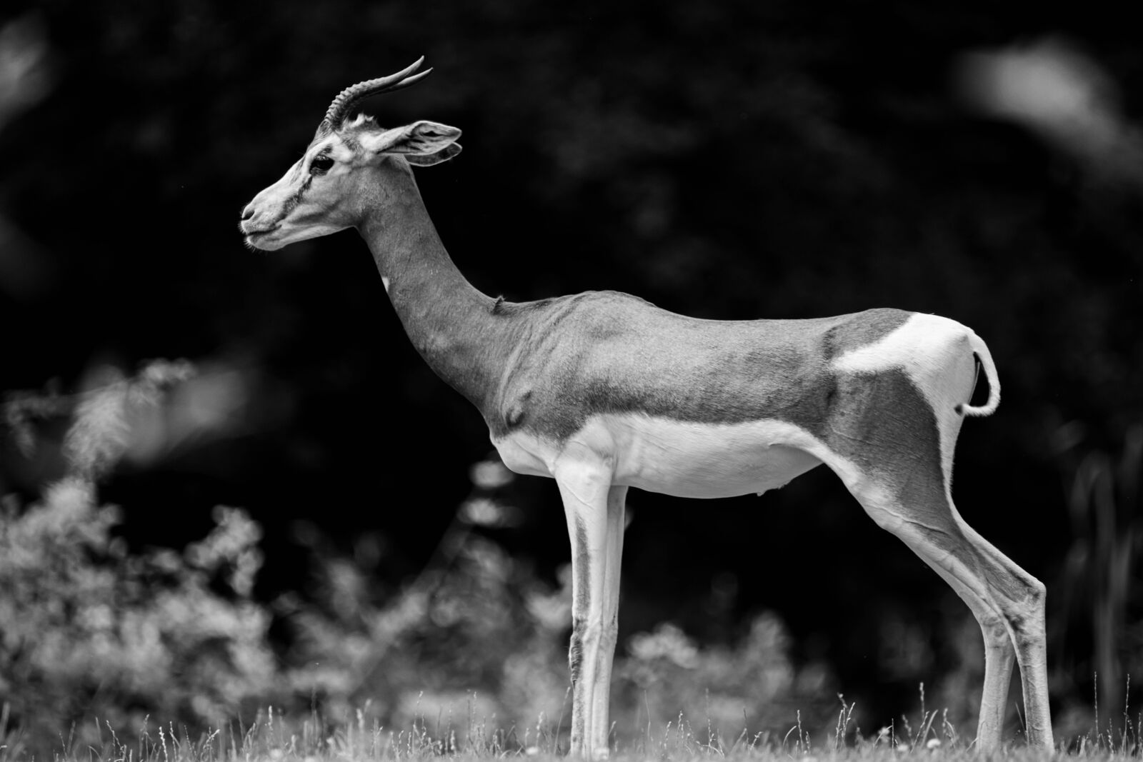 gazelle, africa, antelope