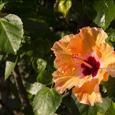 flower, yellow, hibiscus, Canon EOS REBEL T3I