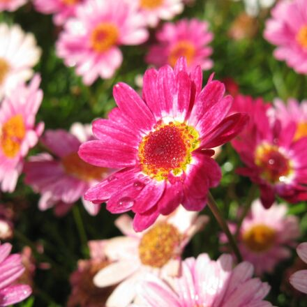 flowers, pink, blossom, Canon POWERSHOT A2000 IS
