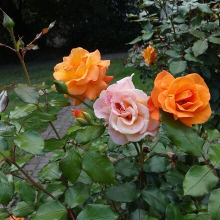rose, orange, later becoming, Sony DSC-WX100