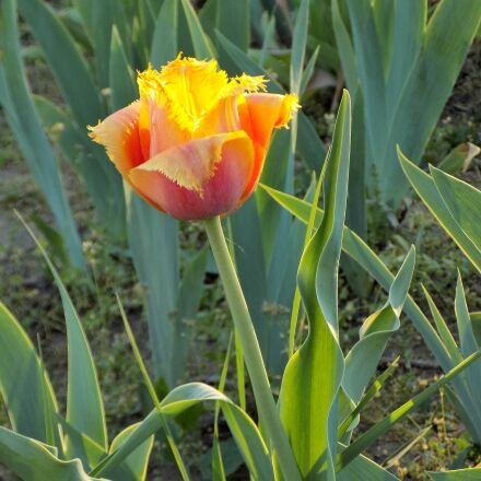 tulip, botanical garden, flower, Nikon COOLPIX L330