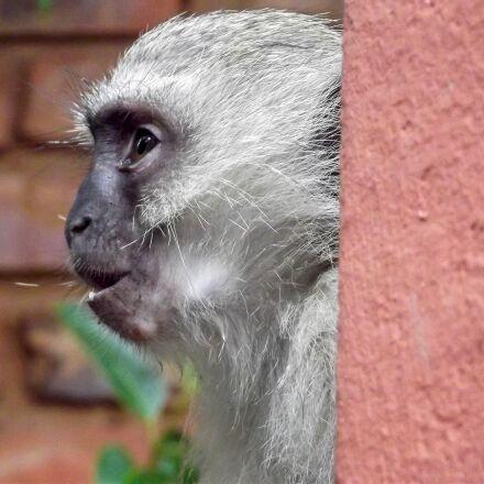 vervet monkey, monkey, garden, Fujifilm FinePix S2960