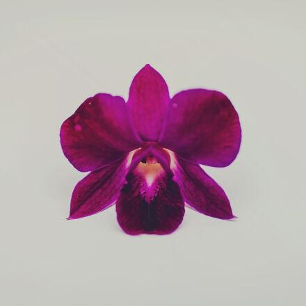 colour, flora, flower, magenta, Canon EOS 6D
