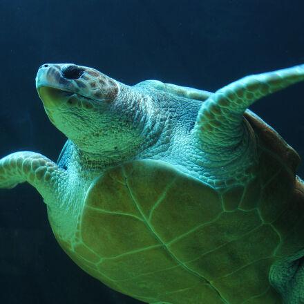 underwater, sea, turtle, turtle, Canon EOS 1100D
