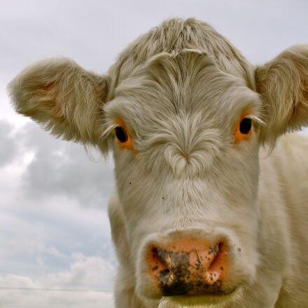 cow, white, animal, Canon EOS 1100D