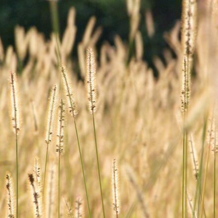 spike, autumn, cereals, Fujifilm FinePix S100FS