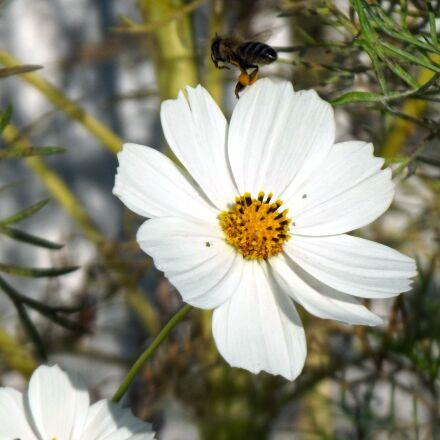bee, flower, cosmos, Fujifilm FinePix S2980