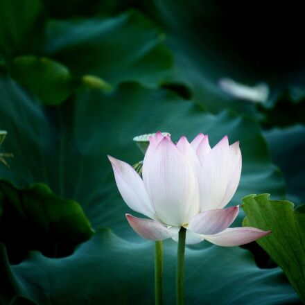 flower, lotus, natural, Sony NEX-5C