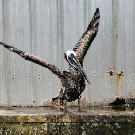 pelican, wings, bird, Panasonic DMC-ZS20
