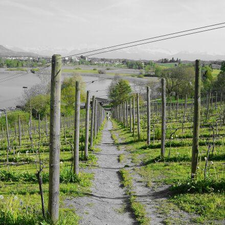 grapevine, vineyard, away, Nikon 1 S1