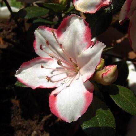 azalea, flower, macro, Fujifilm FinePix S2980