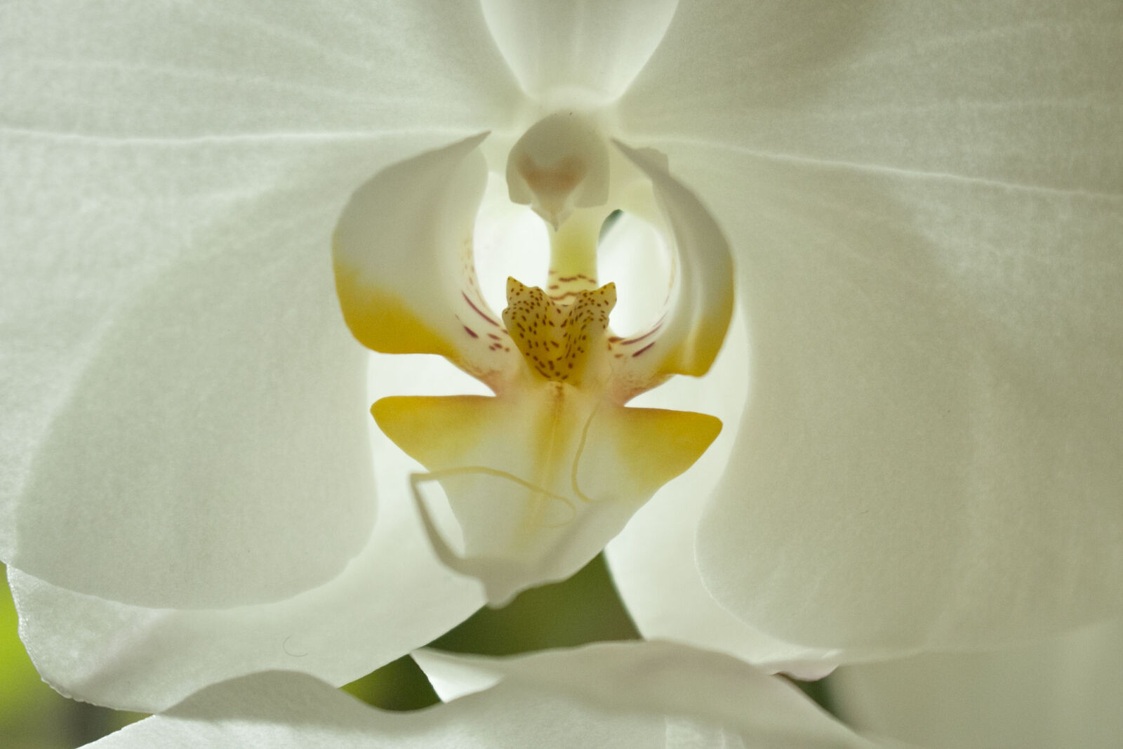 indoor, flower, orchid, white