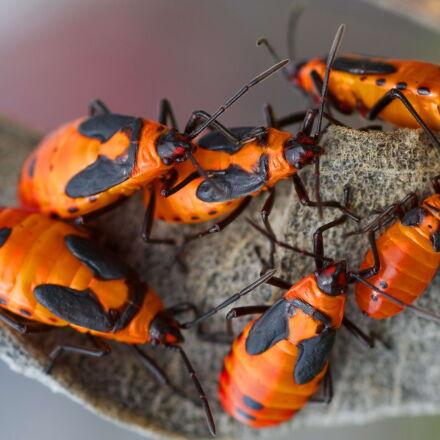 milkweed, bugs, feasting, insects, Canon EOS 5D MARK III