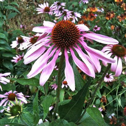 echinacea, herb, medicinal, Apple iPhone 3GS