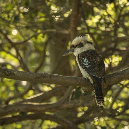 bird, australia, kookaburra, Panasonic DMC-GX7