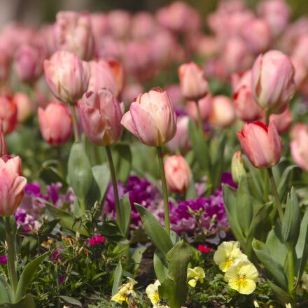 tulips, flowers, roses, Canon EOS 7D