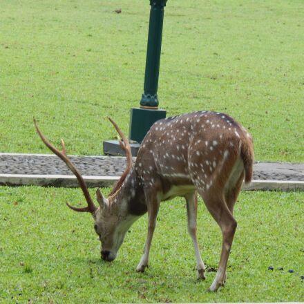 deer, park, bogor, Nikon COOLPIX L830