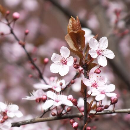 lychee, flower, spring, Fujifilm FinePix HS25EXR