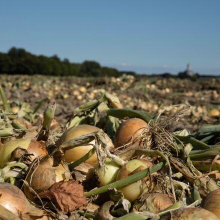 onions, harvest, ui, Canon EOS 6D MARK II
