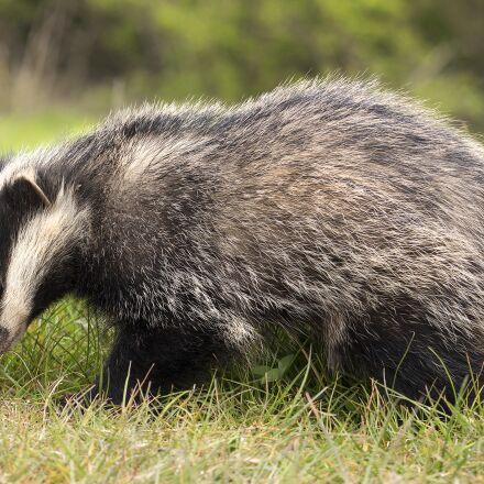 badger, brock, animal, Canon EOS 700D