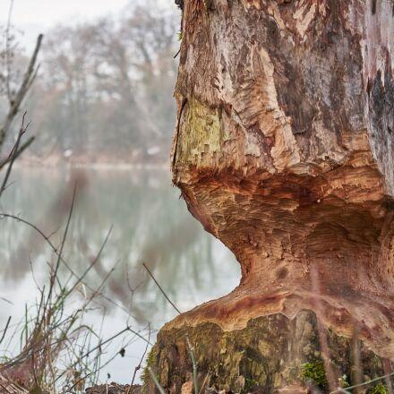beaver, tree, eat, Panasonic DMC-GX80