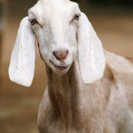 goat, Canon EOS 5D