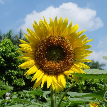 sunflower, flower, Fujifilm X-A1