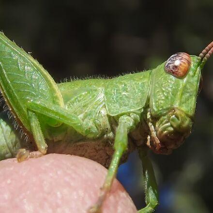grasshopper nymph, green, nature, Fujifilm FinePix S2960