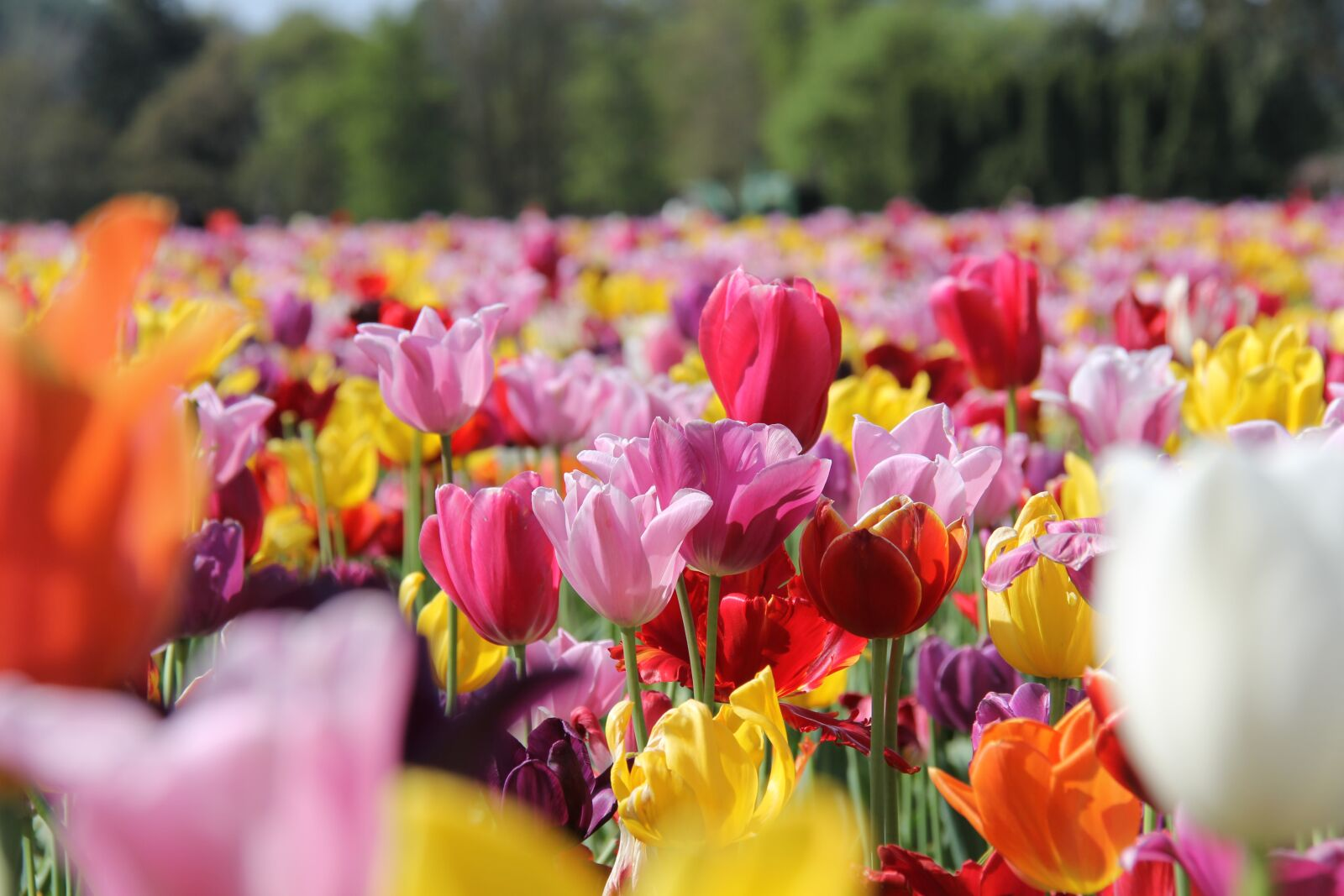 """Canon EOS 60D sample photo. """"Field, flowers, tulips"""" photography"""