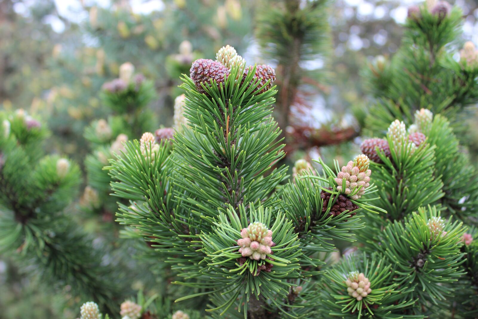 """Canon EOS 600D (Rebel EOS T3i / EOS Kiss X5) sample photo. """"Larch, conifer, tree"""" photography"""