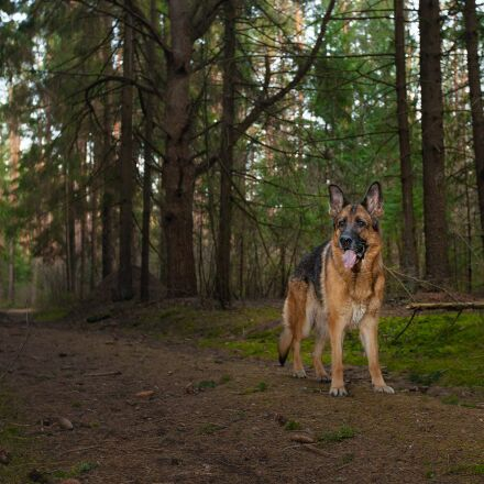 german shepherd, dog, forest, Canon EOS 5D MARK II