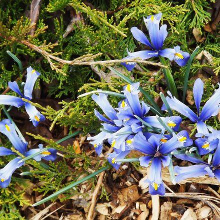 flowers, spring, irises, Fujifilm FinePix S3400