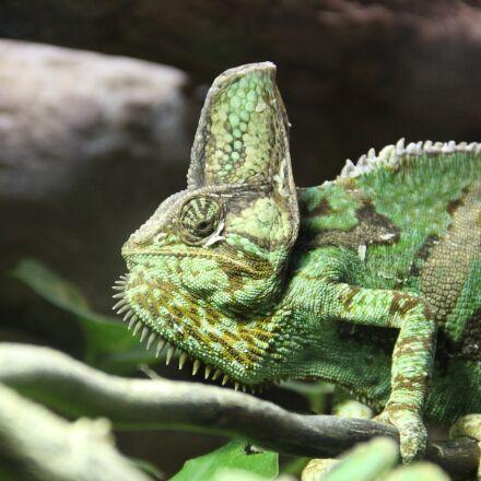 chameleon, vivarium, branch, Canon EOS 600D
