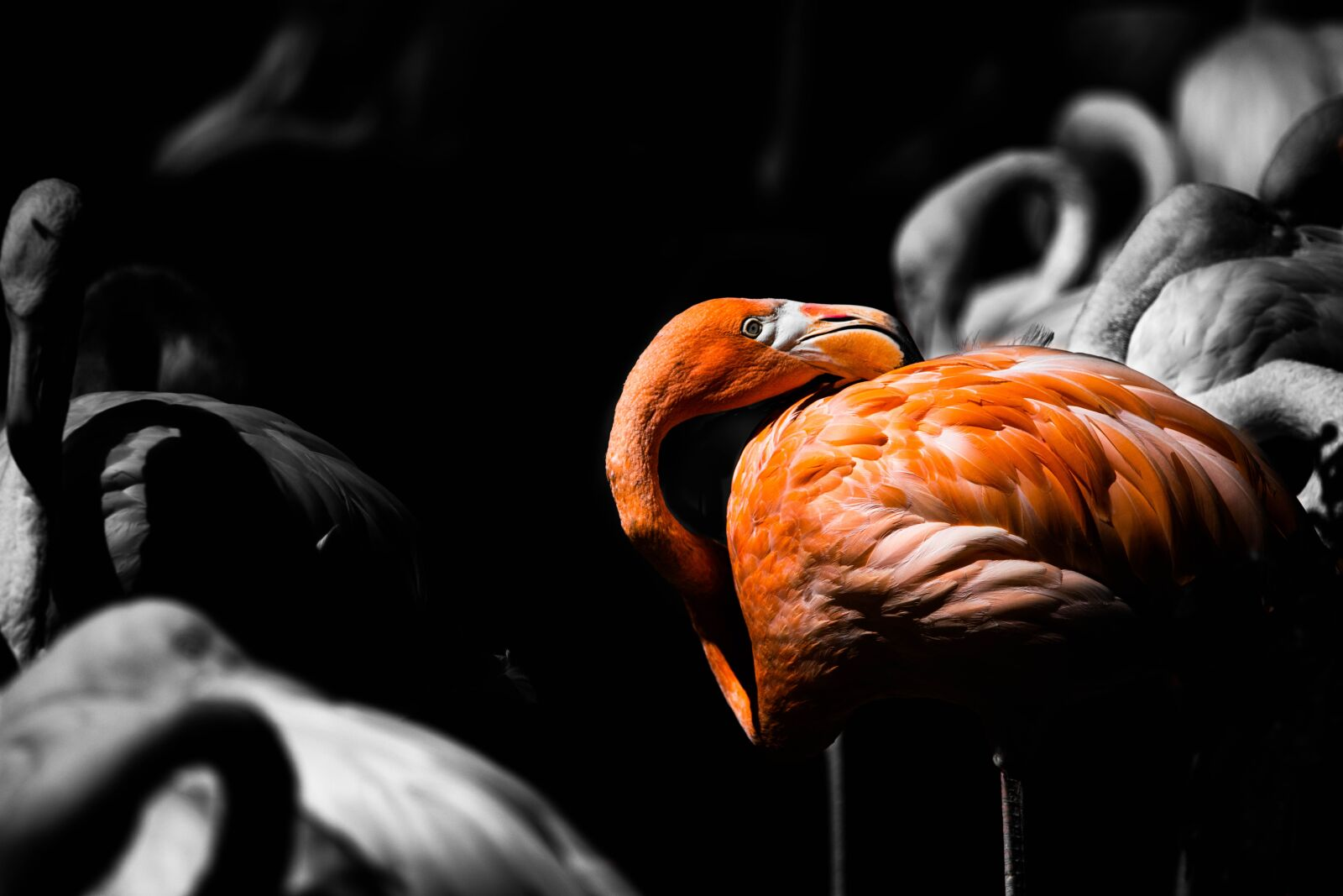 flamingo, herd, swarm