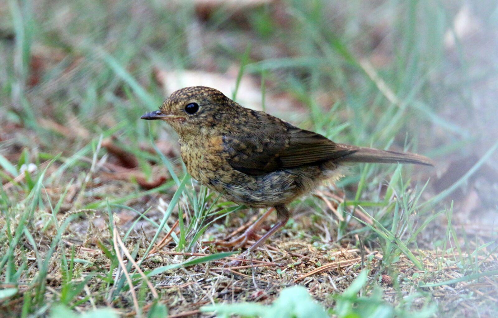 """Canon EOS 70D sample photo. """"Robin, bird, young"""" photography"""