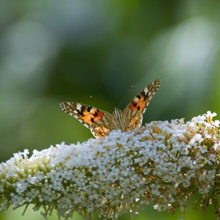 butterfly, insect, close up, Nikon D300S
