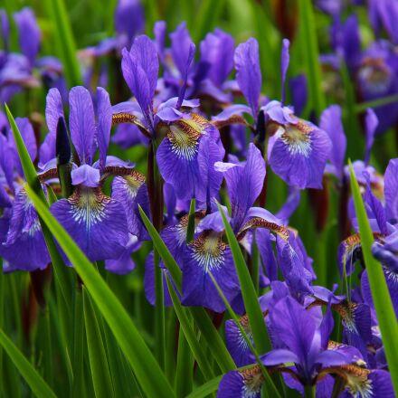 iris, flower, floral, Canon EOS 700D