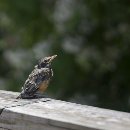 young robin, baby robin, Sony NEX-5N
