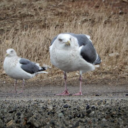 animal, beach, promenade, Nikon COOLPIX A900