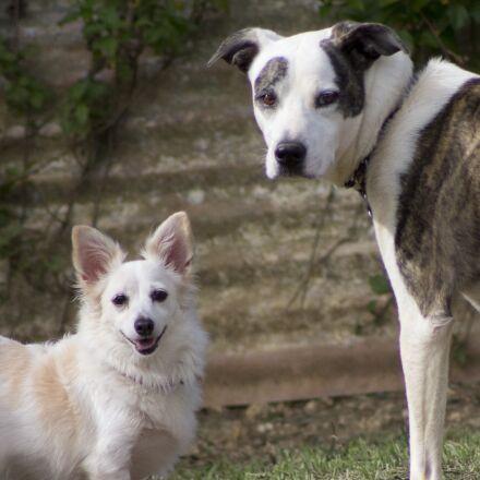 dogs, white, happy, Canon EOS 60D
