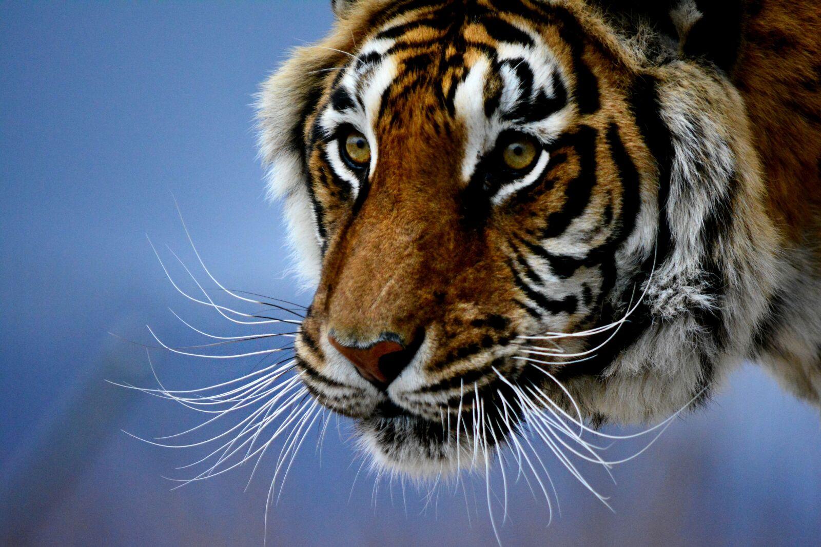 "Nikon D5200 sample photo. ""Bigcat, bigcats, stare, tiger"" photography"