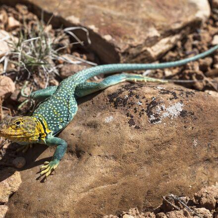 collared lizard, reptile, portrait, Canon EOS 5D MARK II