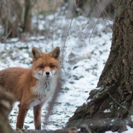 fuchs, snow, winter, Canon EOS 70D