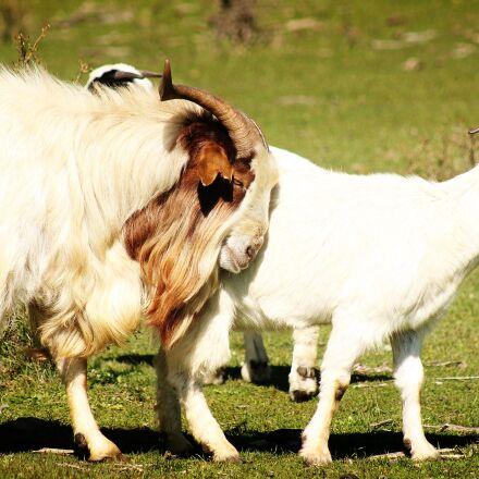 goats, animals, horns, Canon EOS REBEL T3