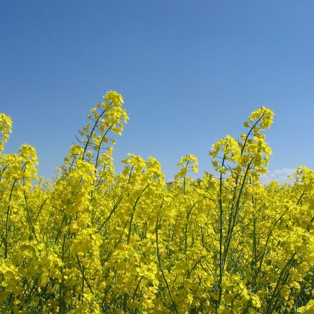 oilseed rape, bloom, field, Canon POWERSHOT A60