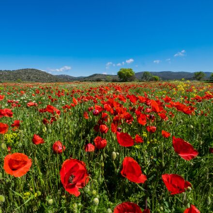 landscape, poppies, field of, Fujifilm X-T1