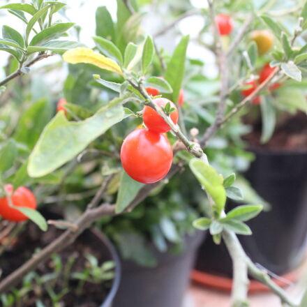 food, garden, tomatoes, vegetables, Canon EOS 600D
