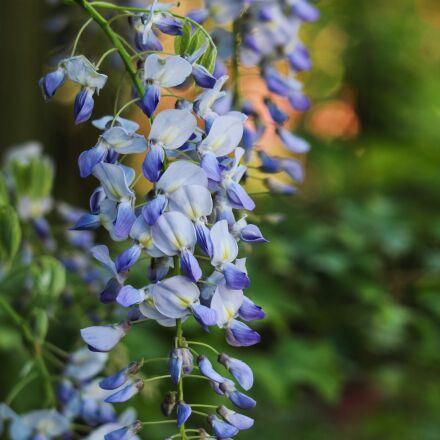 glycine, flower, creeper, Canon EOS 70D