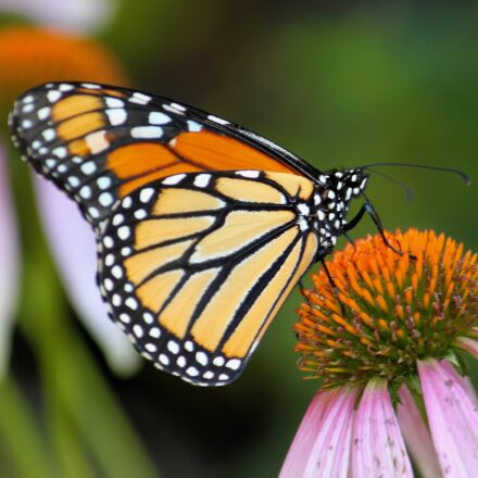 monarch butterfly, insect, nature, Canon EOS REBEL T1I